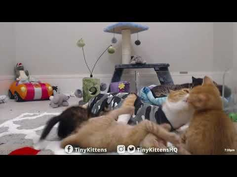Cat Moms Survive Ferocious Kitten Attack Tinykittens Com Youtube Cat Mom Kitten Feral Cats