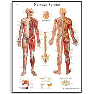 medical chart female spine charts and female nervous system charts - Google Search