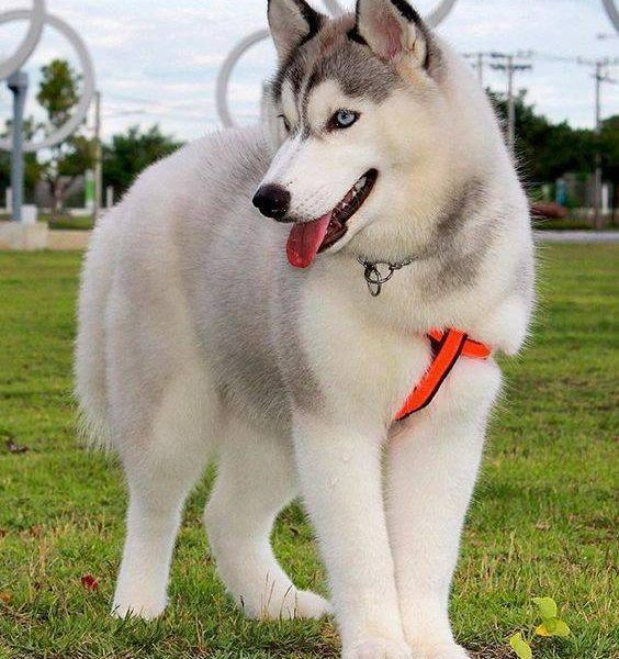 6 Things To Know Before Getting A Siberian Husky Beautiful Dogs