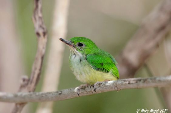 Juvenile Puerto Rican Tody. Photographed in the Guanica Dry Forest 6 June 2013 by Mike Morel.