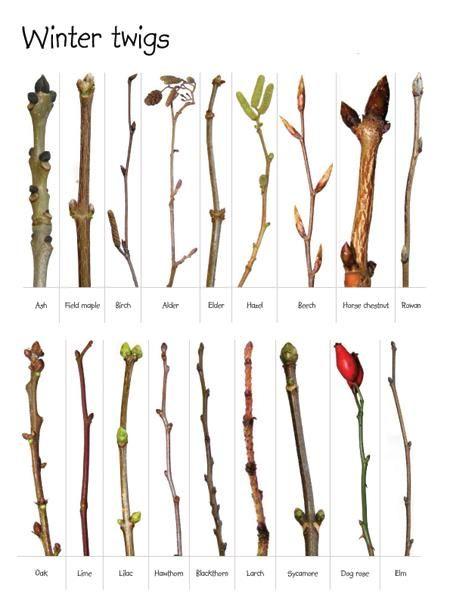 Winter twigs and buds - ash, alder, beech, horse chestnut, rowan, hazel, holly, dog rose, hawthorn, sycamore, blackthorn, field maple, birch, elder, oak, lime, lilac, larch, elm