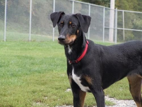Doberman Border Collie Mix