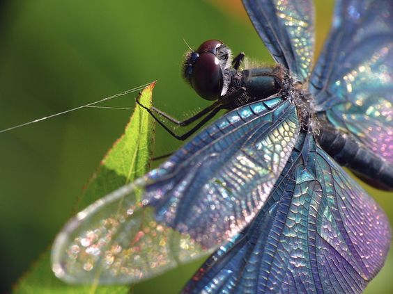 Electric Blue: Flowers Nature, Flickr Photo, Dragonfly Delight Fuls, Photo Sharing, Nature Critters, Epic Nature, Electric Blue