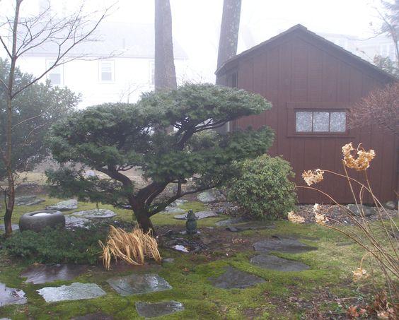 An artfully pruned yew (Taxus).