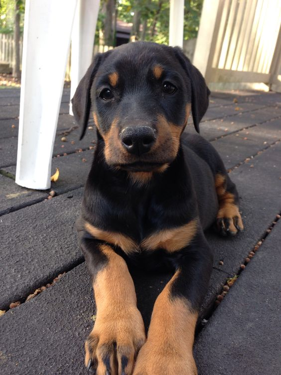 Doberman Puppies For Sale In Limpopo South Africa