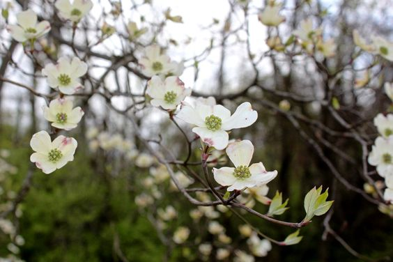 dogwood tree branch - Google Search