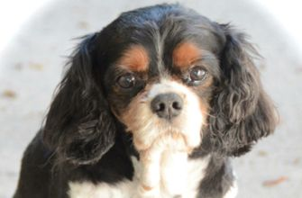 King Charles Cavalier Spaniel: Cavalier Spaniel, Cavalier Puppies, Dogs Animal, Charles Cavalier, Cavalier King Charles, Animal King