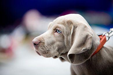 silver weimeraner. My next dog