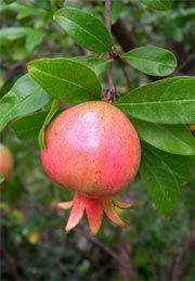 how to grow pomegranate in wa