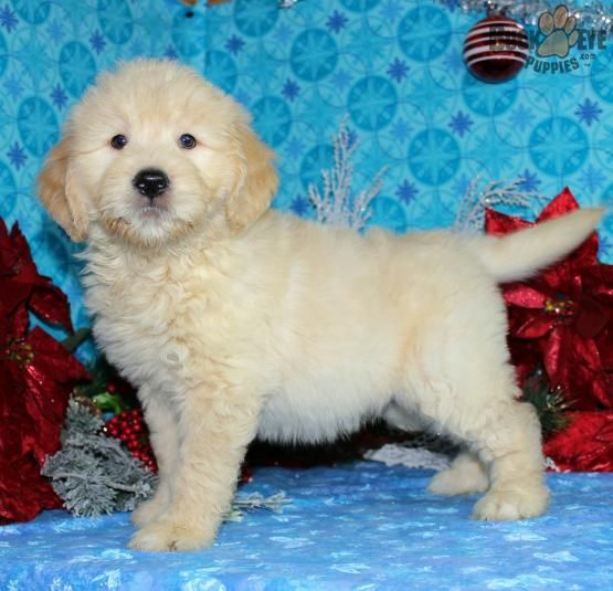 Pooh Bear Mini Goldendoodle Puppy For Sale In Hayesville Oh Buckeye Puppies Super Cute Dogs Goldendoodle Puppy For Sale Goldendoodle Puppy