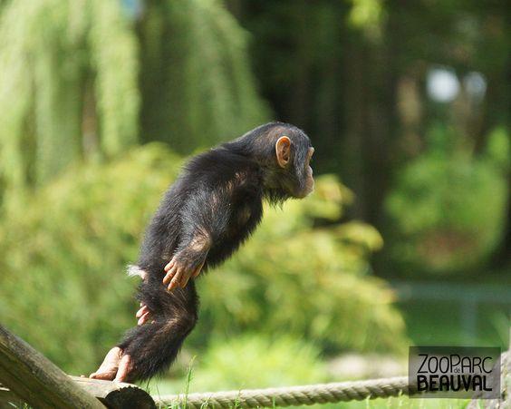 Lukombe, #chimpanzé au ZooParc de Beauval