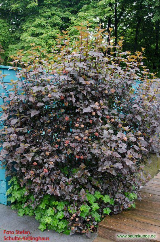 Schneeballblättrige Blasenspiere / Physocarpus opulifolius / Habitus 'Diabolo' Familie: Rosaceae