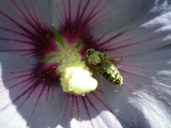 Covered in pollen from the hibiscus!