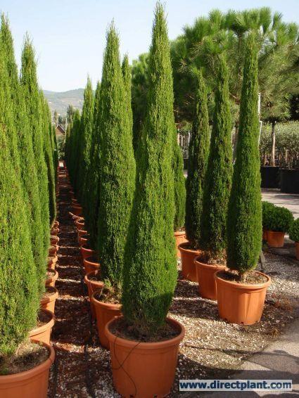 Italiaanse Cipres (Cupressus sempervirens 'Green Pillar