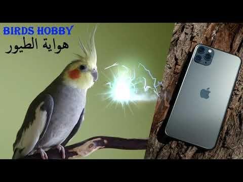 رنة هاتف ايفون ب صوت طائر الكوكتيل Love Birds Birds Hello Everyone