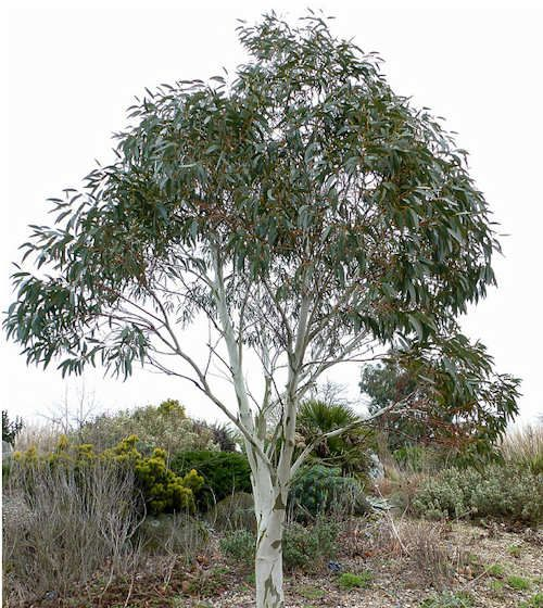 eucalyptus pauciflora niphophila gommier de neige jeune plante en godet eucalyptus pauciflora. Black Bedroom Furniture Sets. Home Design Ideas
