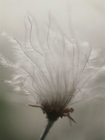Close View of a Feathery Seed Pod  Photographic Print