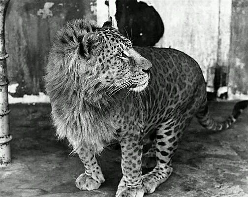 Leopón, cruce entre unleopardomacho y una leona.
