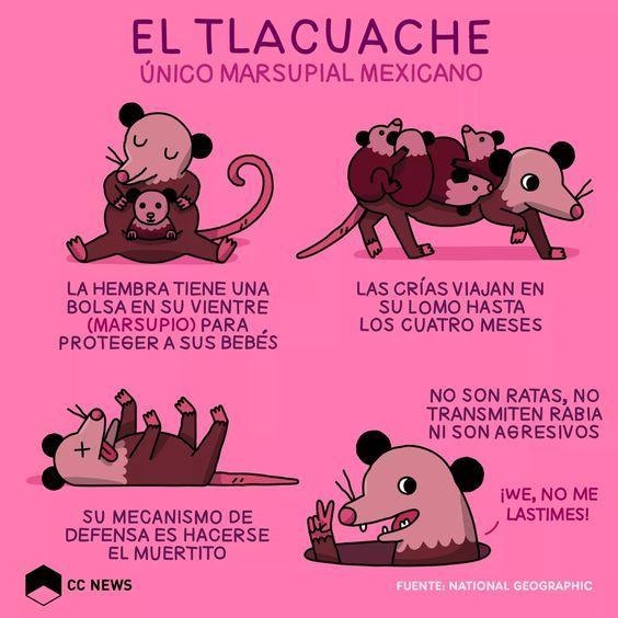 Itacate De Amor El Tlacuache Y El Fuego Leyenda Mexicana El Tlacuache Amor De Perro Dibujos Bonitos De Animales
