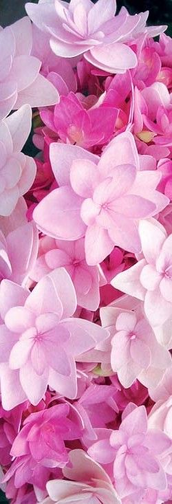 Passion Hydrangea. I need to plant some of these.: