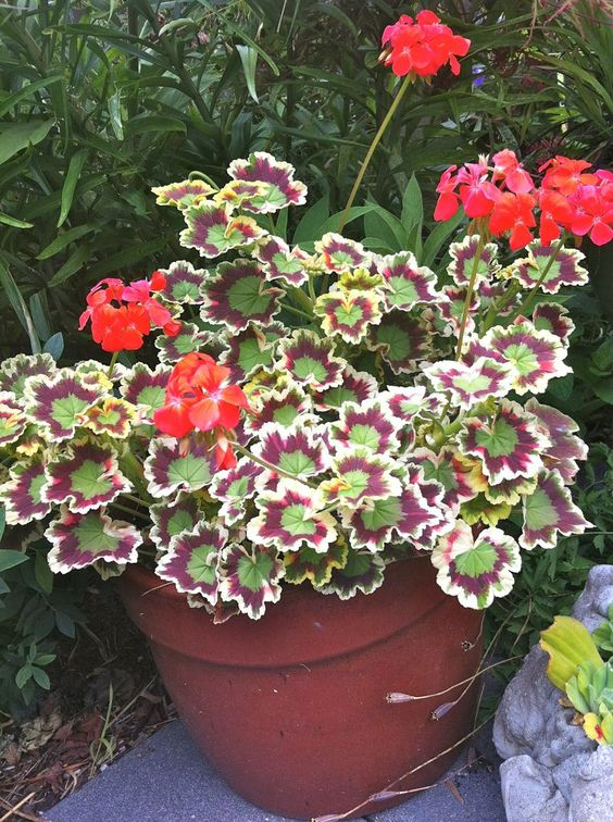 Mrs pollock geranium gardening pinterest geraniums for Fancy flower pots