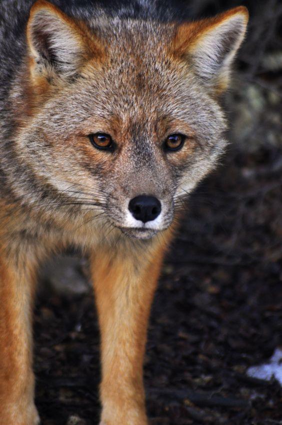 Zorro Rojo - Parque Nacional Terra do Fogo