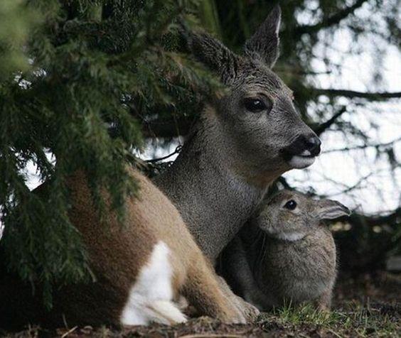Amitié entre espèces : biche et lapin