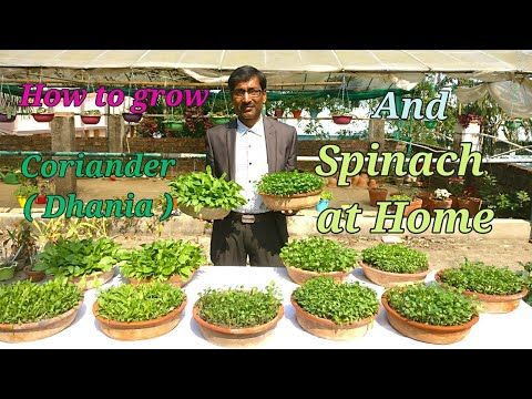 How You Can Grow Coriander Dhania And Spinach Palak Easily