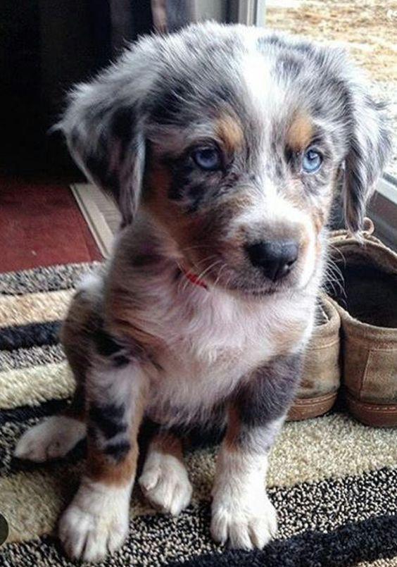 40 Best Australian Shepherd Dog Names The Paws Cute Animals Cute Baby Animals Cute Dogs