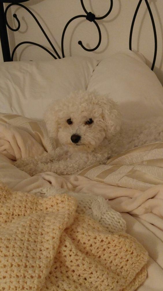 Bed head Bichon boy! #cute #puppy #dog