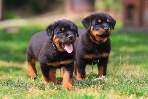 Rottweiler Welpen Hund Welpen Hundeschule Hunderassen