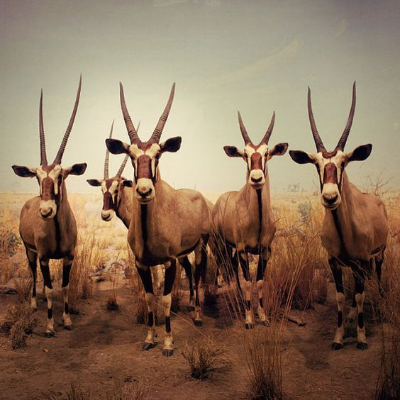 http://www.etsy.com/listing/73180455/antelope-antlers-photograph-still-life  art on etsy worth a look see and a purchase!