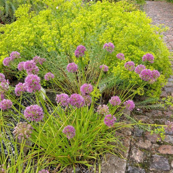 Hochsommerlich blühender, selten verwendeter Wild-Lauch: Hautwurzeliger Lauch (Allium hymenorrhizum)