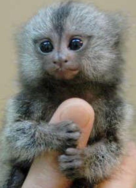 Cute Wild Capuchin Monkey | www.imgkid.com - 33.8KB