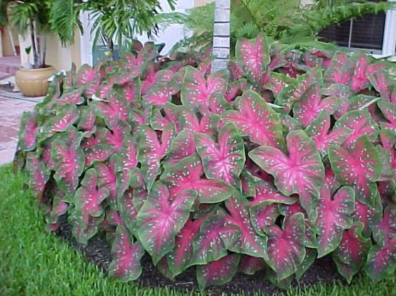 List Of Shade Loving Plants Caladiums Are Excellent In