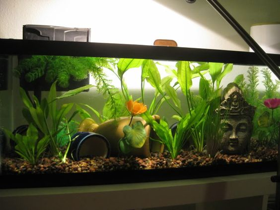 This 20 gallon long is the perfect sorority tank for for 10 gallon fish tank decoration ideas