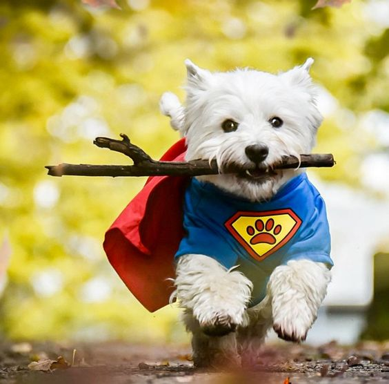 Here comes Super Westie!