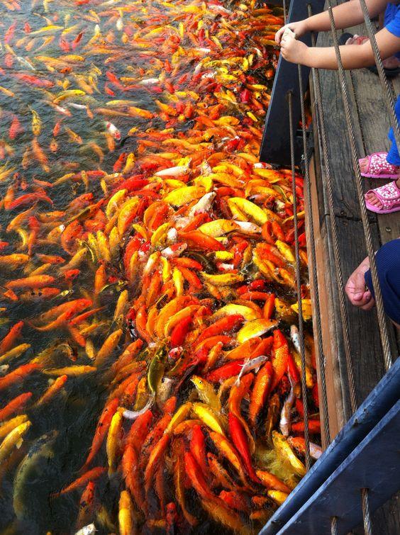Santa Rosa Philippines  city images : Feeding the koi, Nuvali, Santa Rosa, Philippines. | koi goldfish pond ...