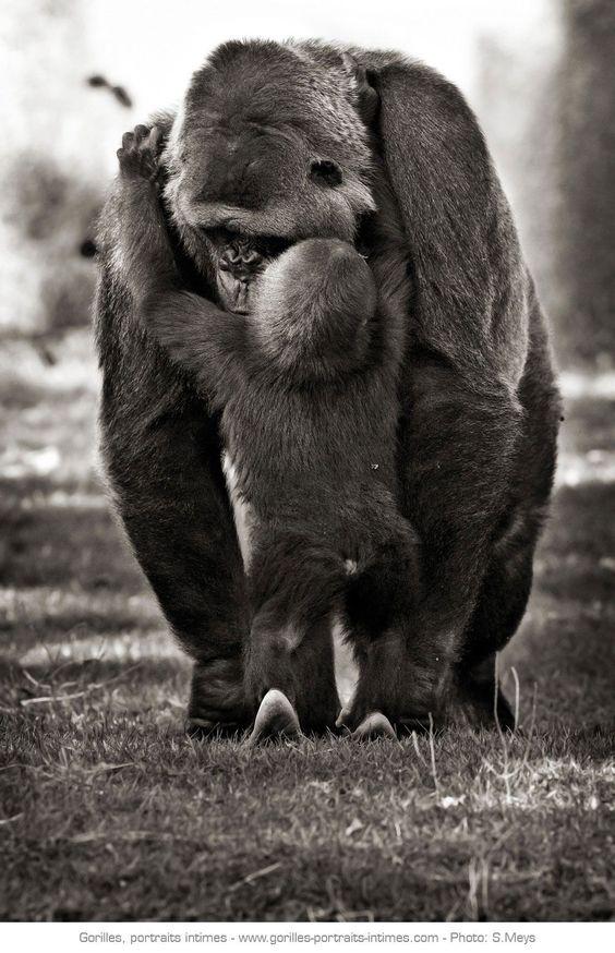 Maman gorille et son petit - Affectueuses et attentionnées, les femelles gorilles entretiennent un rapport étroit avec leurs petits et ce durant de longues années, comme tous les grands singes.