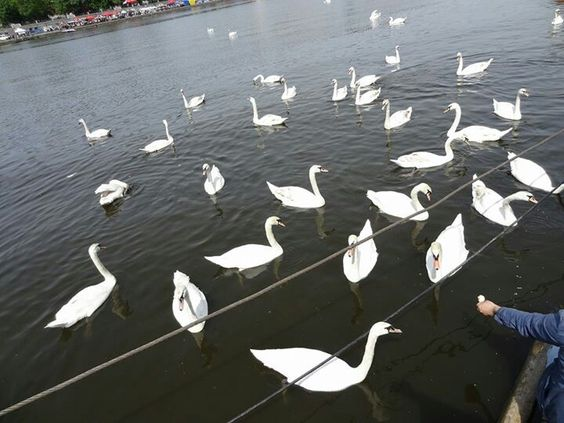 Belas aves nadando no Rio Vitava em Praga.  Acompanhe nossas aventuras no Facebook: VTL - Virtual Tour by Luziete @VTLbyLuziete  #Virtualtourbyluziete  http://virtualtourbyluziete.blogspot.com.br/?m=1