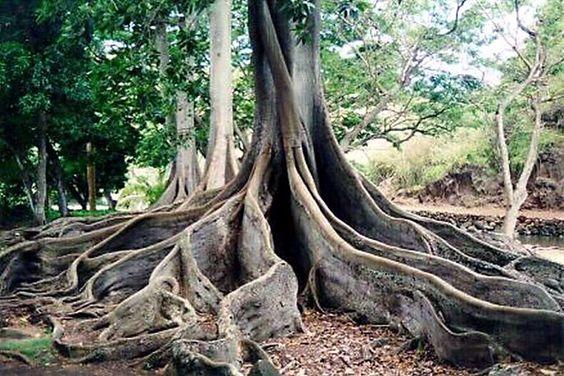 National Tropical Botanical Gardens There Are 5 Gardens 3 On Kauai Mcbryde Garden Allerton