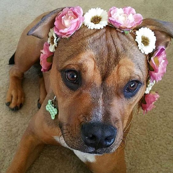Omg how cute is @amandaartistry 's pup wearing one of our flower crown head chains?! The CUTEST! We still have a few left so shop today only at WWW.SHOPBULLHORN.COM (link in profile)!