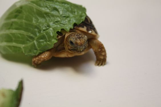 Sheldon is not very big yet!  Just the size of a small piece of lettuce.