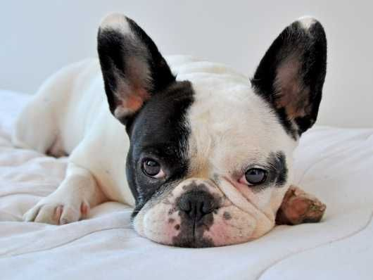 Last Puppy Blue Tan Lilac Producer Bulldog Breeds French