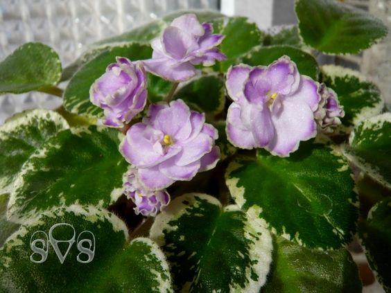 Buckeye Sarsparilla: Green Thumb, Buckeye Sarsparilla, African Violets