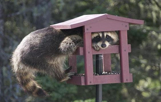 A Raccoon in the bird feeder - Pixdaus
