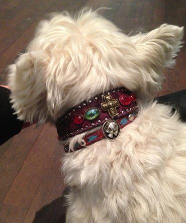 Hier zeigt Euch Westie Puddl sein tolles Halsband! Und weil ihm mit seinem weißen Fell einfach alles steht, hat Frauchen Julie ihm gleich auch noch ihr Armband mit umgebunden!