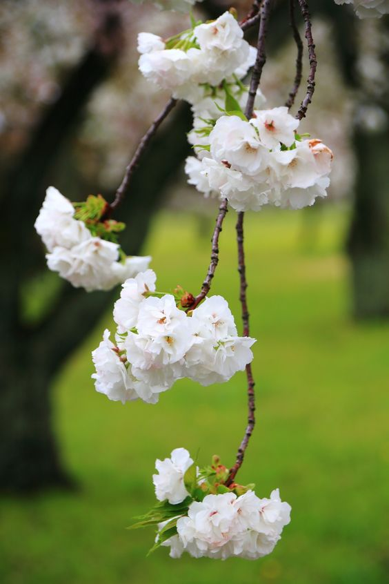 二条城の桜の園に咲く華やかな八重桜