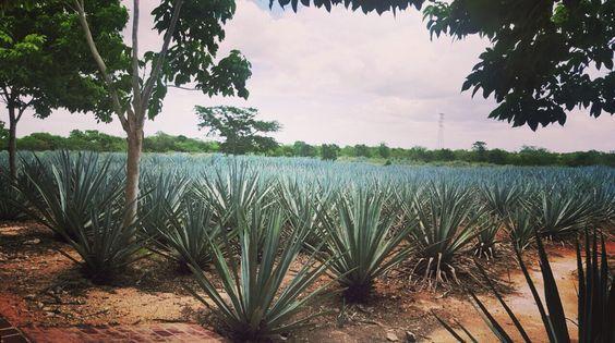 Tequila en paisaje