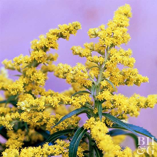 These Are The Top Deer Resistant Plants For The South Goldenrod Flower Day Lilies Perennials